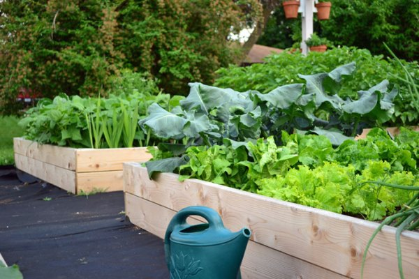 vegetables growing in raised bed